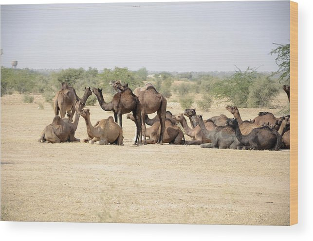 Wood Print featuring the photograph Camels by Virginie Vanos