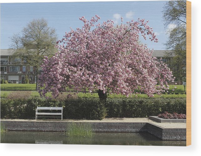 Cherry Blossom Park Klarenbeek Wood Print featuring the photograph Cherry Blossom by Ronald Jansen