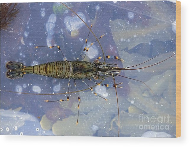 Common Shrimp Wood Print featuring the photograph Common Shrimp by Dr Keith Wheeler