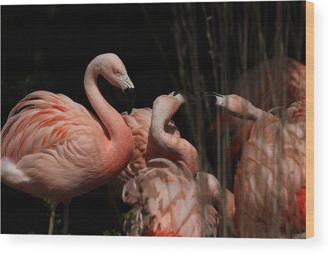 Beauty Wood Print featuring the photograph Flamingo by Paul Fell