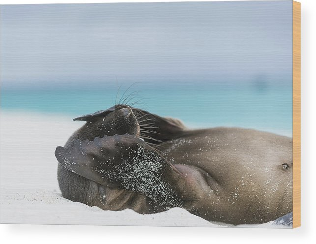Tui De Roy Wood Print featuring the photograph Galapagos Sea Lion Pup Covering Face by Tui De Roy
