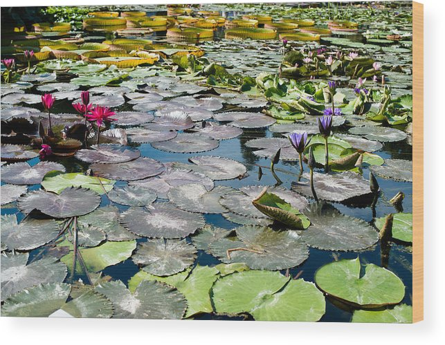 Water Lily Wood Print featuring the photograph Gorgeous Water Lilies by Frank Gaertner
