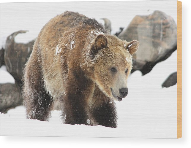Wildlife Wood Print featuring the photograph Happy Grizzly Bear by Brenda Boyer