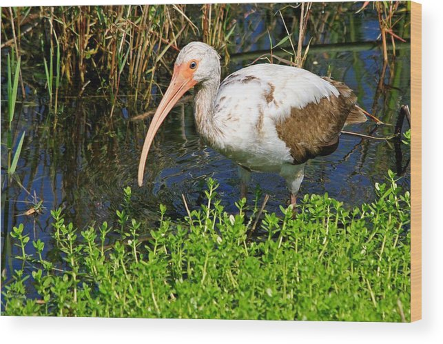 Albus Wood Print featuring the photograph Juvenile White Ibis by Ira Runyan
