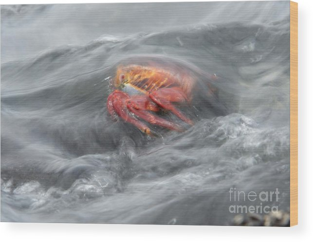 Galapagos Islands Wood Print featuring the photograph Sally Lightfoot Crab by Dr P. Marazzi