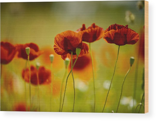 Poppy Wood Print featuring the photograph Summer Poppy by Nailia Schwarz