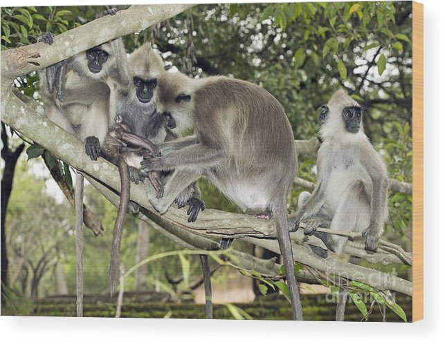 Animal Wood Print featuring the photograph Tufted Grey Langurs by Tony Camacho