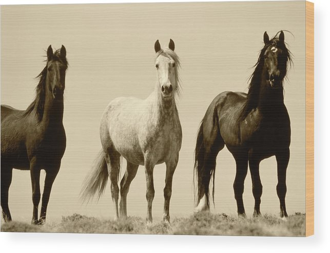 Adnt Wood Print featuring the photograph Usa, Wyoming, Young Wild Stallions by Scott T. Smith