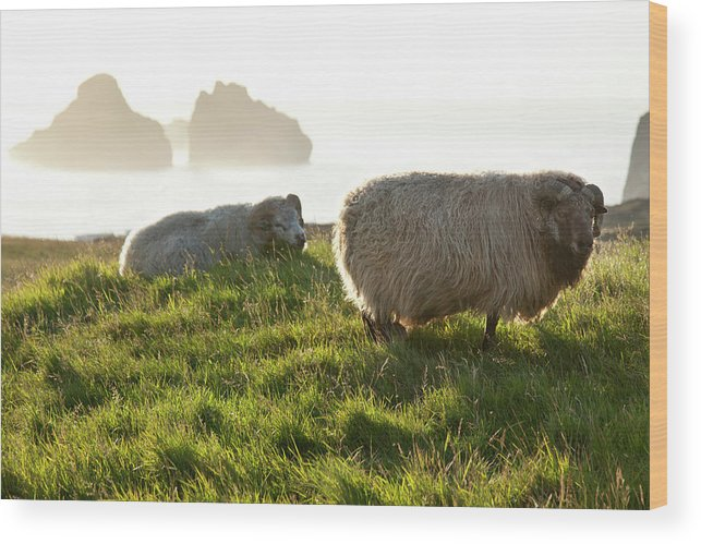 Animal Wood Print featuring the photograph Vestmannaeyjar English The Westman by Christopher Herwig