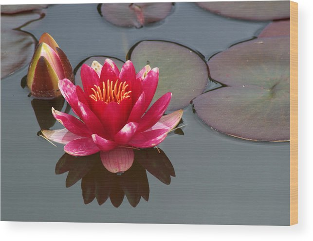 Water Lily Wood Print featuring the photograph Water Lily by Chris Day