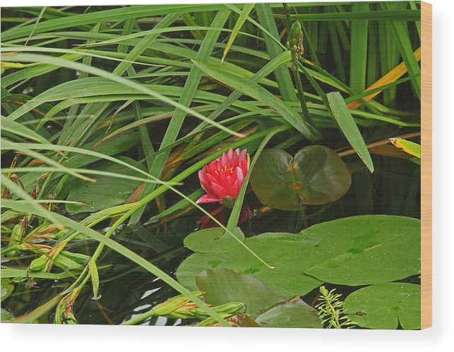 Watter Lilly Wood Print featuring the photograph Watter Lilly by Ronald Olivier