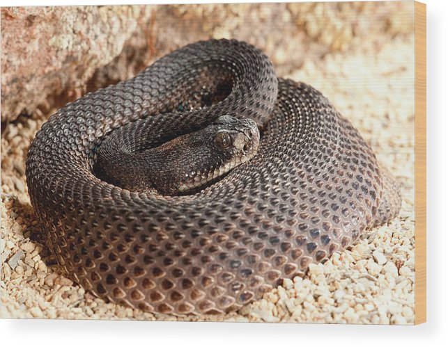 Crotalus Wood Print featuring the photograph Western Diamondback Rattlesnake by David Northcott