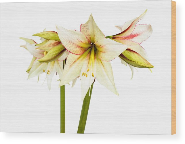 Colorful Wood Print featuring the photograph White Amaryllis Flower by Frank Gaertner