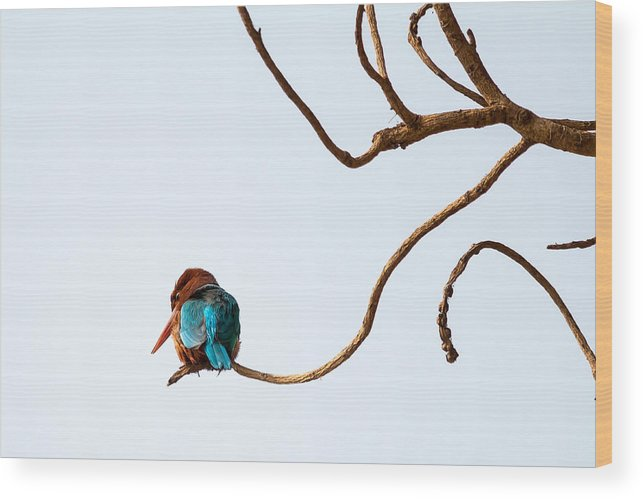 Smyrna Kingfisher Wood Print featuring the photograph White-throated Kingfisher by Gaurav Singh