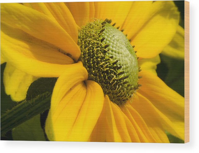 Yellow Wood Print featuring the photograph Yellow Daisy by Irene Theriau