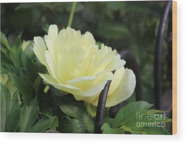 Yellow Peony Wood Print featuring the photograph Yellow Peony by Rod Ismay