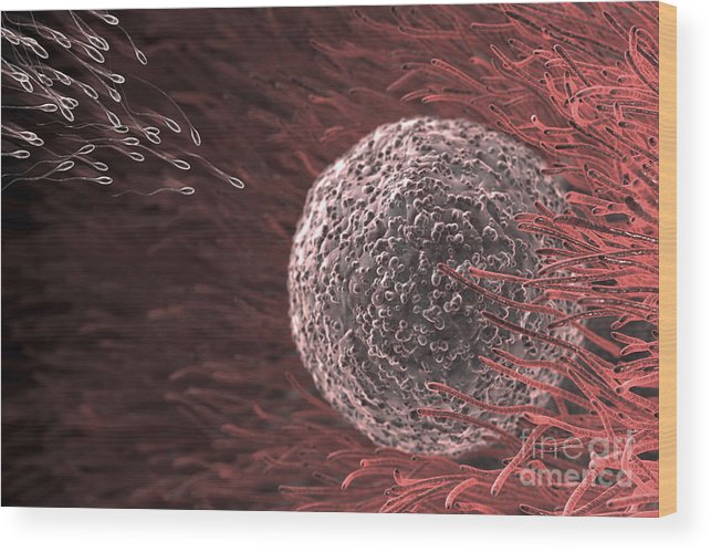 3d Visualisation Wood Print featuring the photograph Fertilization by Science Picture Co