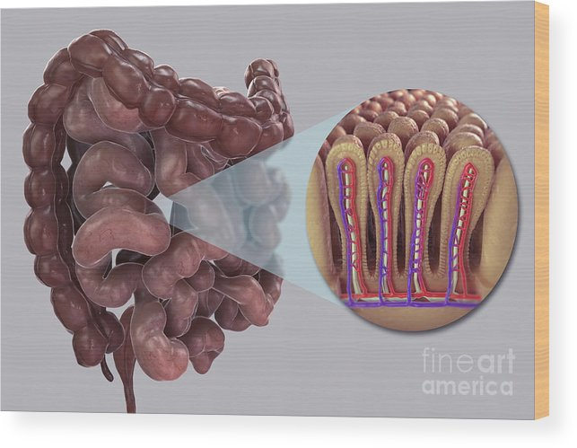 Digitally Generated Image Wood Print featuring the photograph Intestinal Villi by Science Picture Co