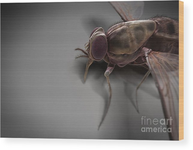 Haematophagy Wood Print featuring the photograph Tsetse Fly by Science Picture Co