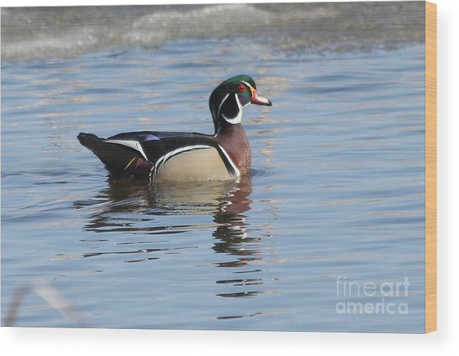 Wood Duck Wood Print featuring the photograph Wood Duck by Lori Tordsen