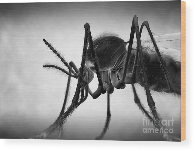 Grey Background Wood Print featuring the photograph Anopheles Mosquito by Science Picture Co