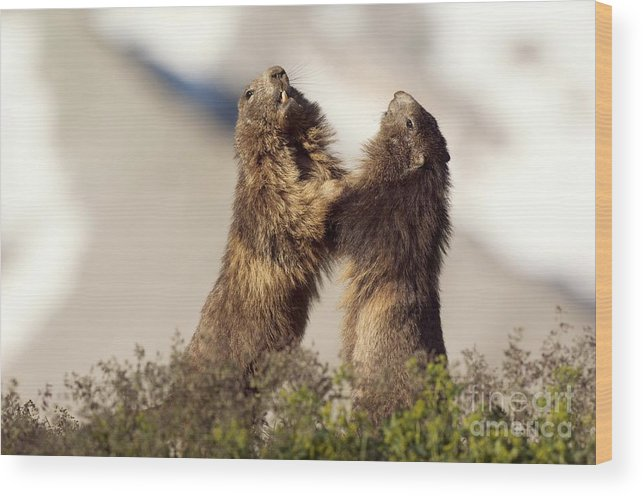 July Wood Print featuring the photograph Alpine Marmot by Duncan Shaw