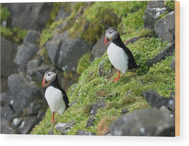 Adult Wood Print featuring the photograph Atlantic Puffin, Fratercula Arctica by Steven J. Kazlowski / GHG