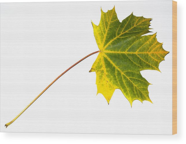 Maple Wood Print featuring the photograph Autumn Maple Leaf by Frank Gaertner