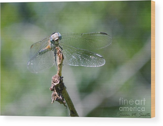 Photography Wood Print featuring the photograph Baby Blues by Susan Smith