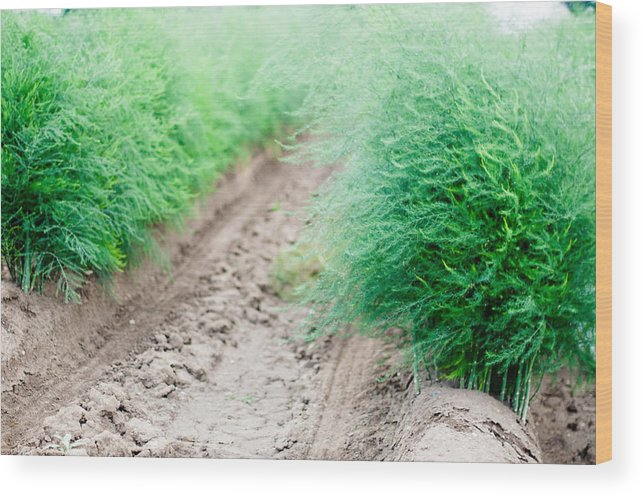Asparagus Wood Print featuring the photograph Blossoming Asparagus Field by Frank Gaertner