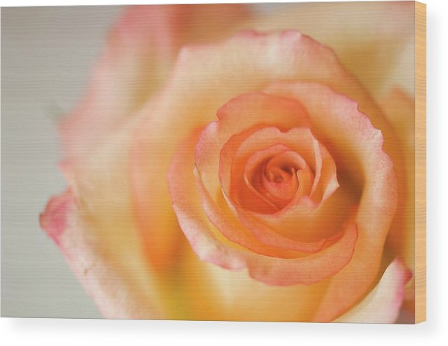Rose Wood Print featuring the photograph Close Up Of Single Rose (rosa Hybrid) by Maria Mosolova