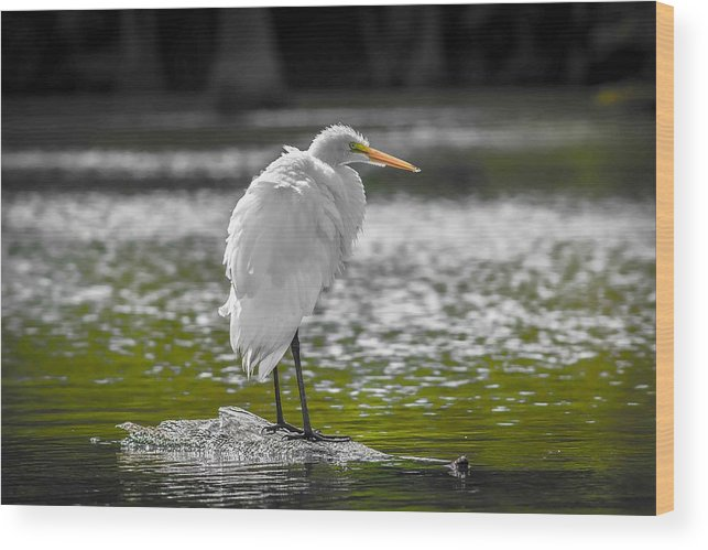 Egret. Birds. Landscape. Lake. White Egret.  Wood Print featuring the photograph Great White Egret by Todd Gontarek