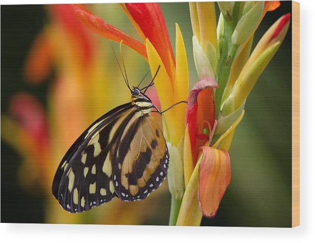 Postman Butterfly Wood Print featuring the photograph The Postman Butterfly by Saija Lehtonen