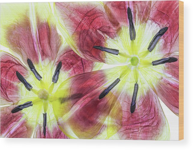 Petals Wood Print featuring the photograph Tulips by Mandy Disher