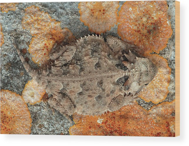 Animal Wood Print featuring the photograph Usa, Texas, Kimble County by Jaynes Gallery