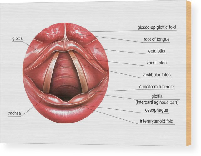 vocal folds diagram wiring diagram article  vocal folds diagram #7