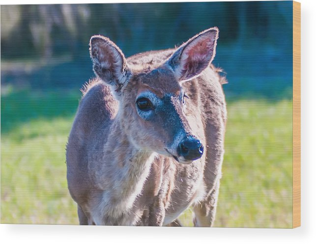 White Wood Print featuring the photograph White Tail Deer Bambi In The Wild by Alex Grichenko