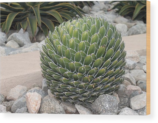 Cactus Wood Print featuring the photograph Garden Cactus by Robert Butler