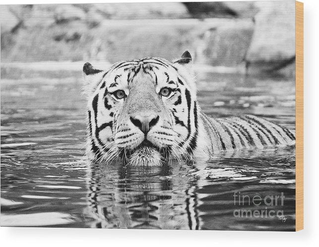 Tiger Wood Print featuring the photograph Mike Vi - Bw by Scott Pellegrin