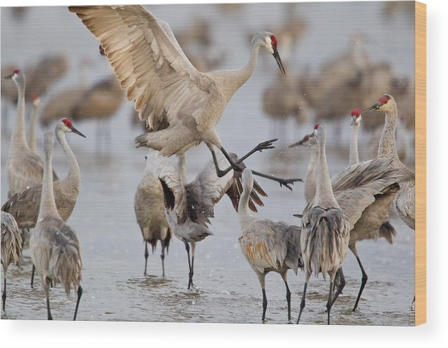 Behavior Wood Print featuring the photograph Sandhill Cranes Dancing On The Platte by Chuck Haney