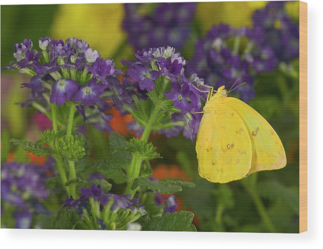 Butterfly Wood Print featuring the photograph Sulphur Butterfly In The Phoebis Family by Darrell Gulin