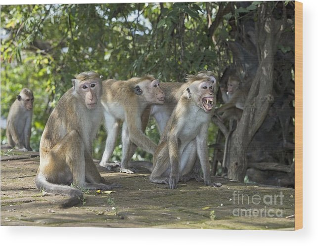 Sri Lanka Wood Print featuring the photograph Toque Macaques by Tony Camacho