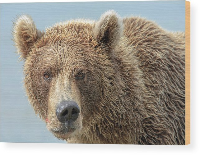 Alaska Wood Print featuring the photograph Grizzly Bears Also Called Brown Bears by Tom Norring