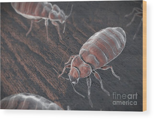 Haematophagy Wood Print featuring the photograph Bed Bugs Cimex Lectularius by Science Picture Co