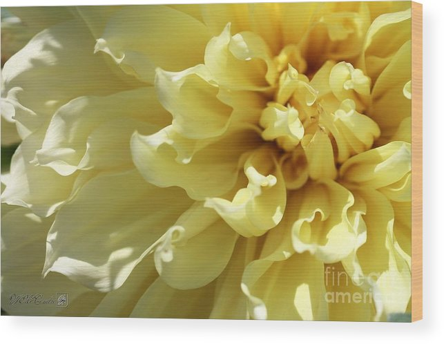 Mccombie Wood Print featuring the photograph Dahlia Named Kelvin Floodlight by J McCombie