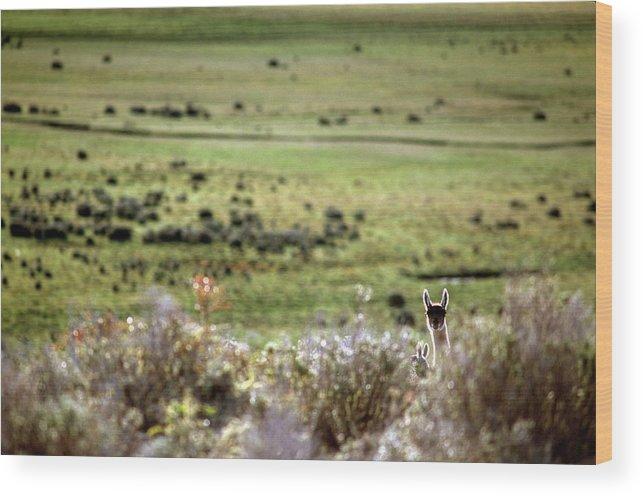 Alpaca Wood Print featuring the photograph Environmental Tierra Del Fuego -- by Kevin Moloney