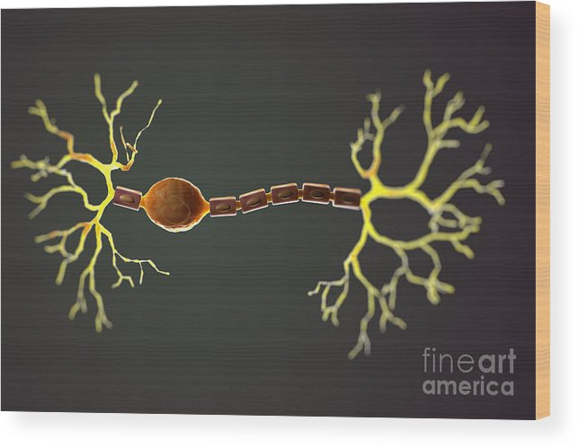 3d Model Wood Print featuring the photograph Bipolar Neuron by Science Picture Co