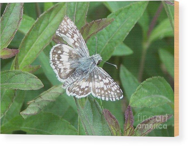 Butterflies Wood Print featuring the photograph Butterfly by Randy Mass