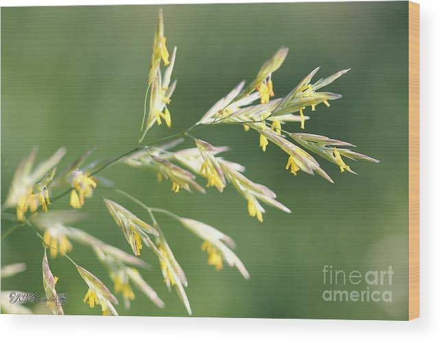 Mccombie Wood Print featuring the photograph Flowering Brome Grass by J McCombie