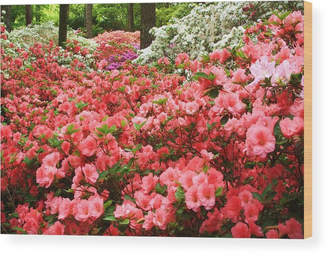Callaway Gardens Wood Print featuring the photograph Callaway Gardens by Mountains to the Sea Photo
